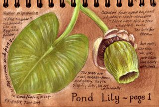 Pond-lily1-kh