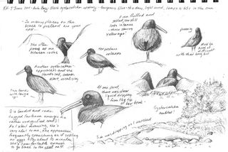Hocker-oystercatcher-sketches