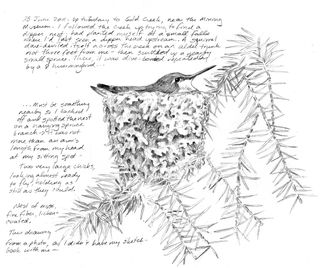 Hocker-hummingbird-sketch