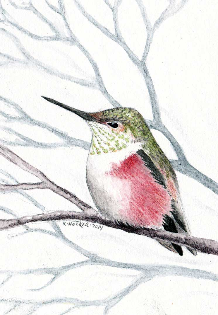 Rufous hummingbird drawing - photo#17