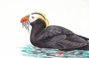 hocker-puffin-sketch
