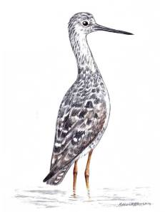 hocker-yellowlegs-sketch