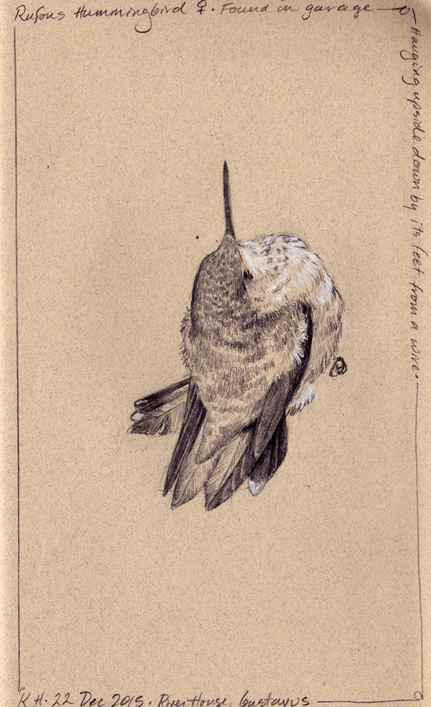 hocker-hummingbird-sketch2