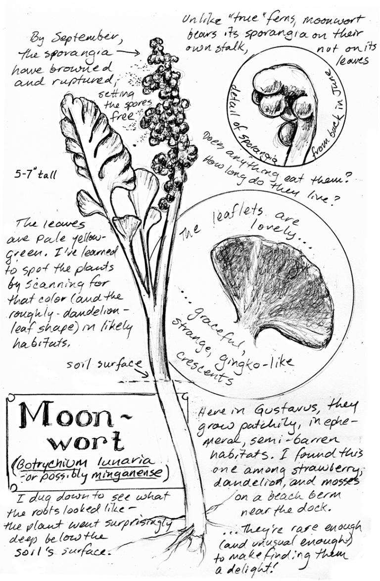 moonwort-nature-notebook-k-hocker